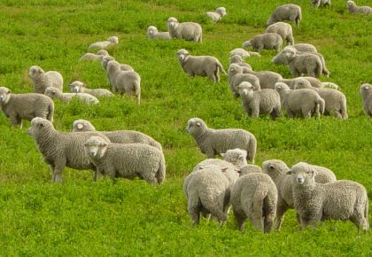 Овцете