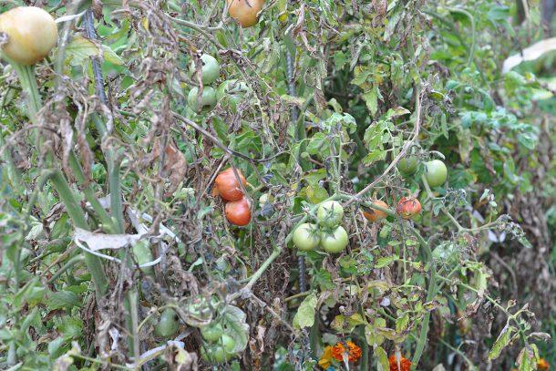 Дневник на гардинаря: 14 октомври 2012 - Есента в градината 32