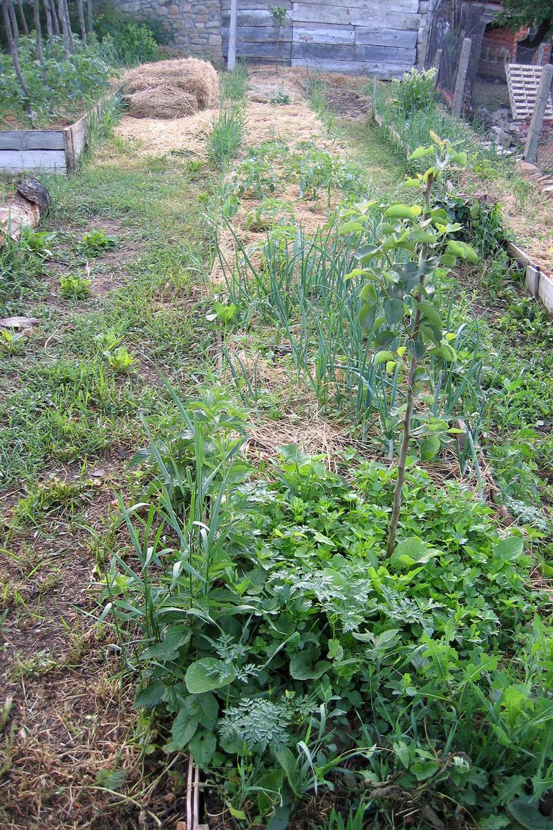 Дръвче, около,което расте магданоз, лук, домати, турта и невен