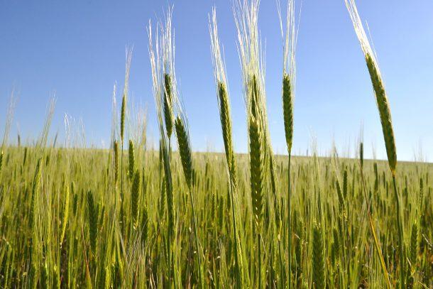 лимец, лимец - древно жито
