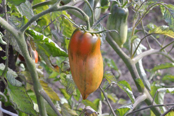 домат-чушка