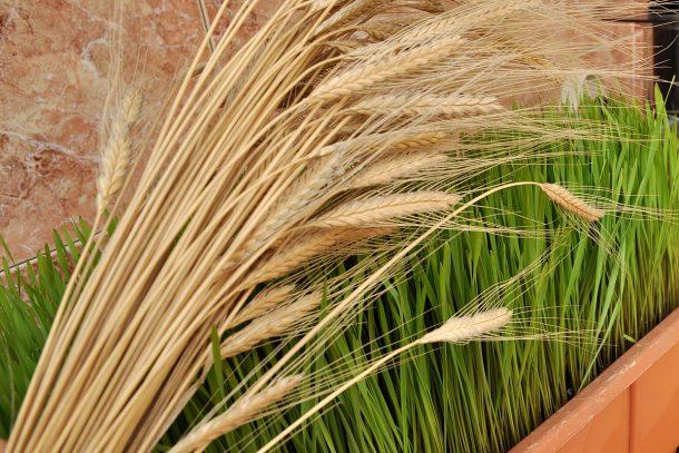 Отглеждане на житена трева от лимец