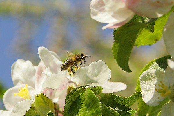 пчела до цъфнало дърво