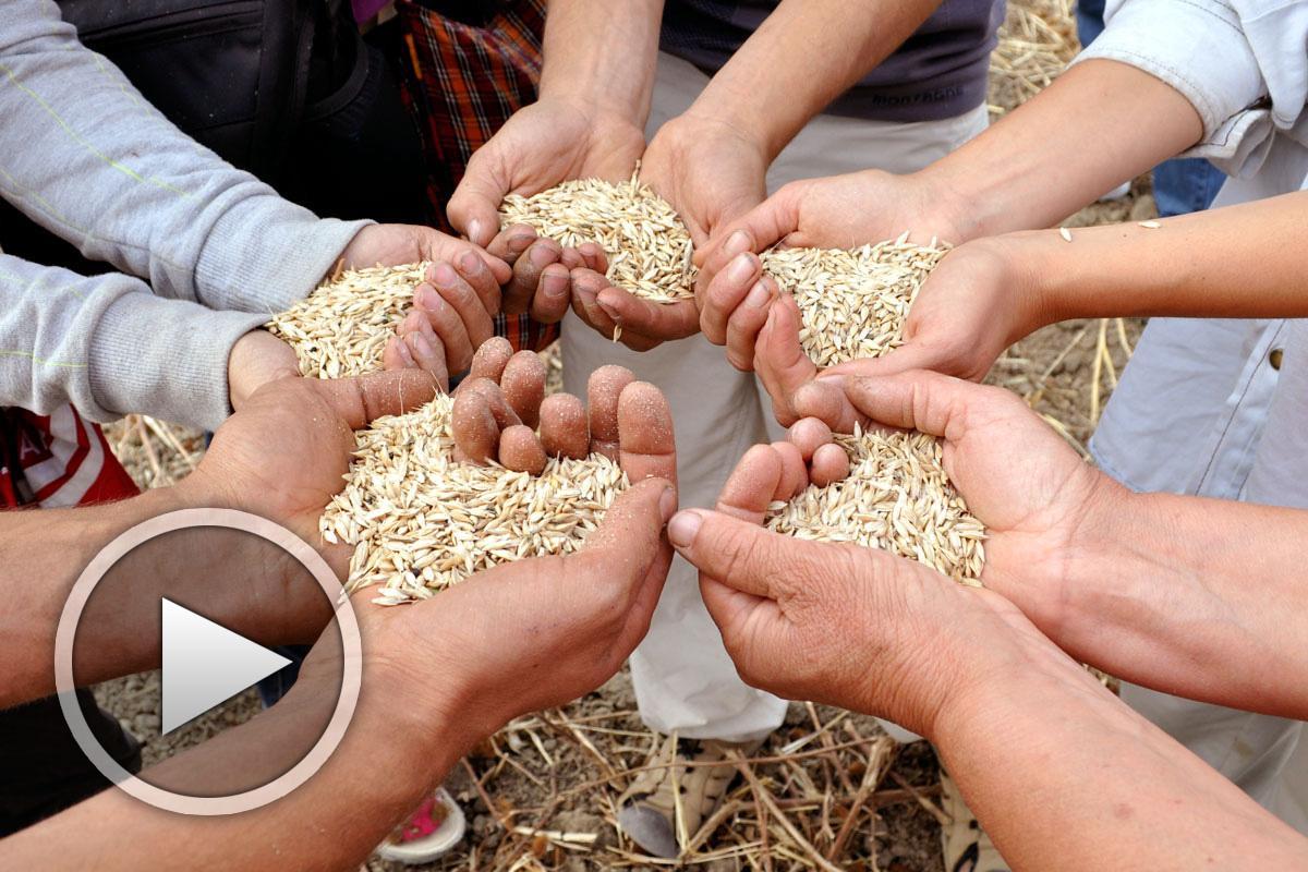 Мило мое жито