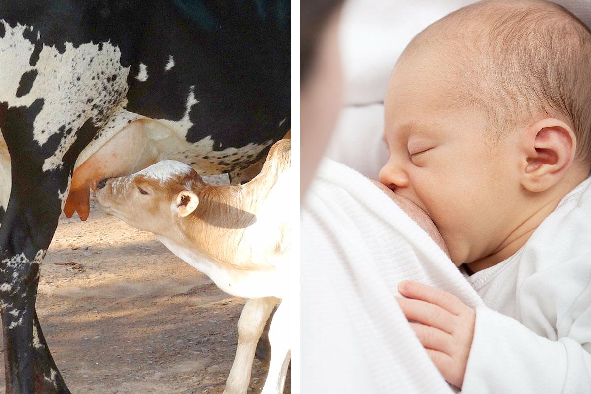 краве мляко и човешко мляко