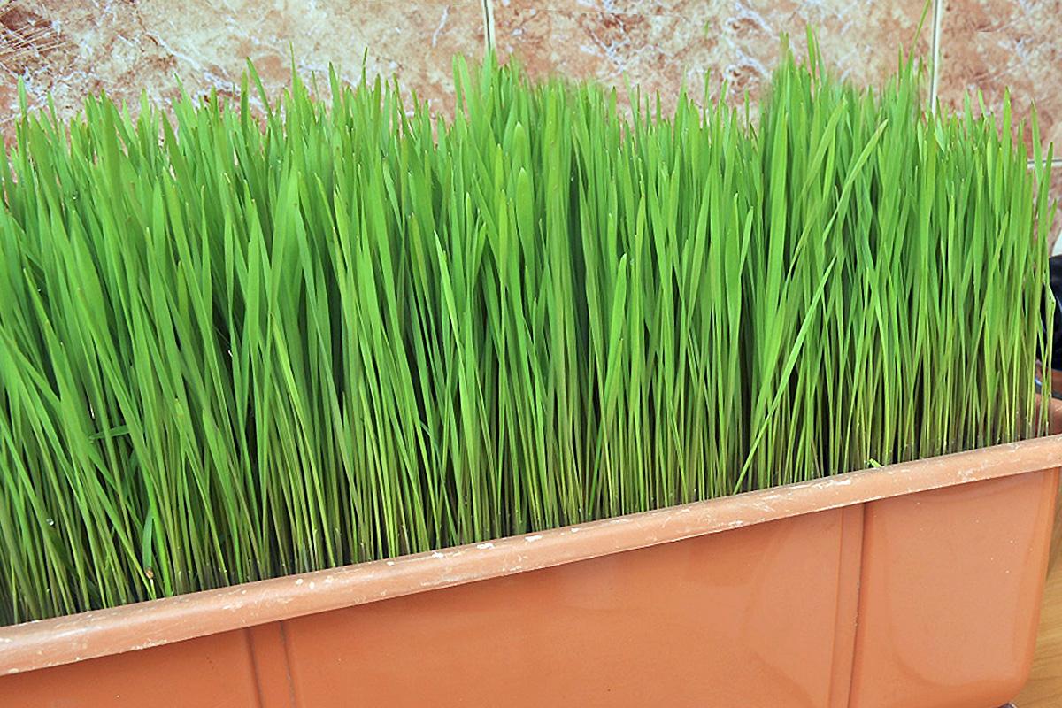Д-р Гайдурков за пшеничната трева