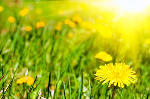 Д-р Пашкулев: 7 пролетни български суперхрани: Глухарче