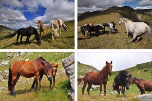 Дивите коне на Рила - галерия