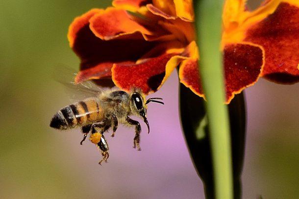 Пчела - Известни и неизвестни вегетарианци