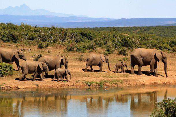 Слонове - Известни и неизвестни вегетарианци