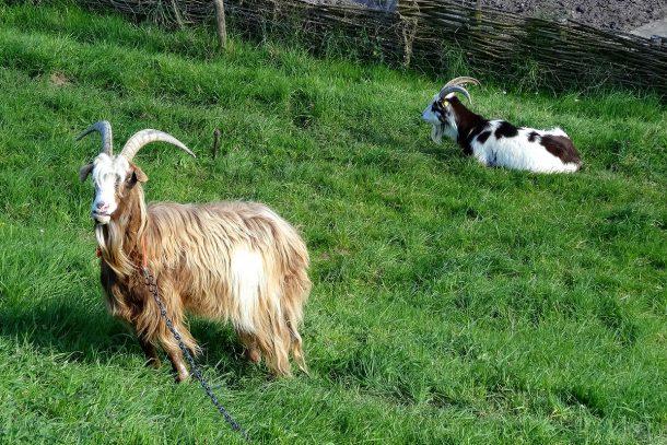 Коза - Известни и неизвестни вегетарианци