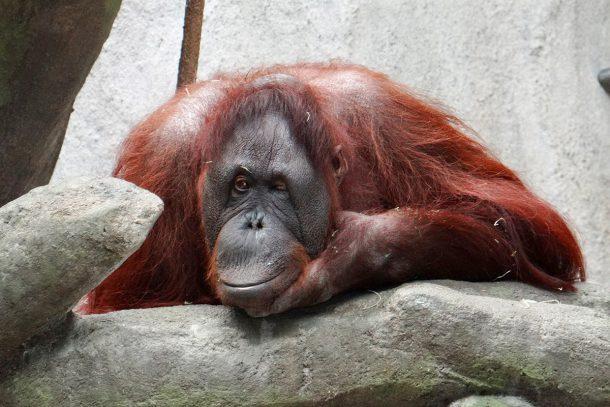 Орангутан - Известни и неизвестни вегетарианци