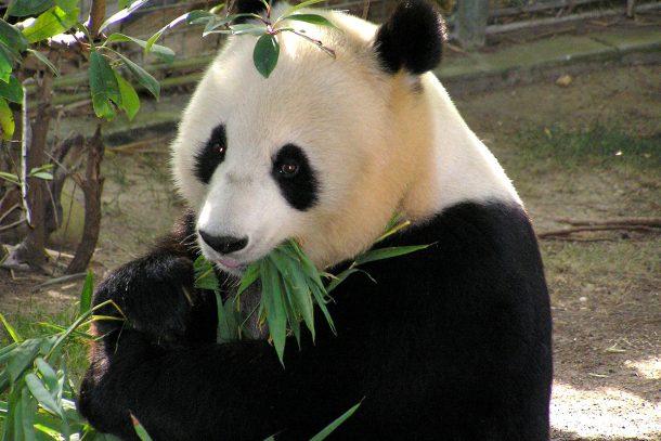 Панда - Известни и неизвестни вегетарианци