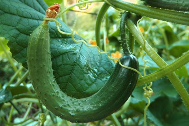 Има ли проблем да се ядат горчиви градински краставици?