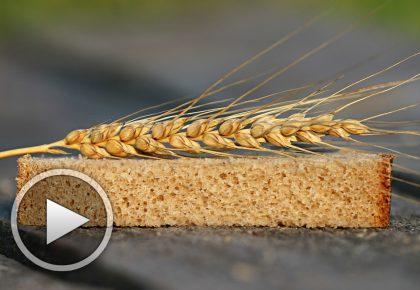 Д-р Папазова: за вредата на съвременната пшеница и предимствата на лимеца