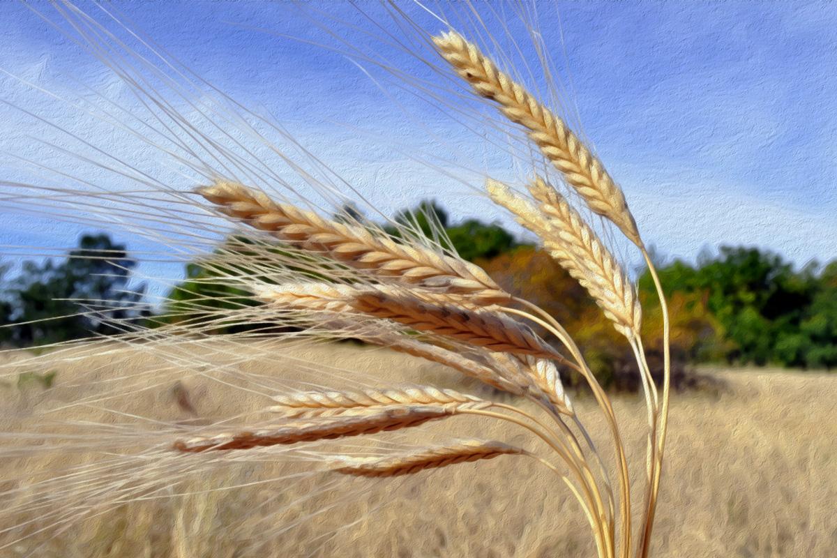 За житния режим и сравняването му с лечебното гладуване